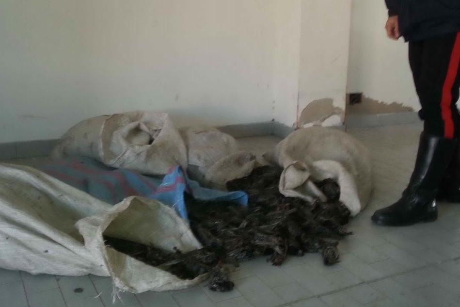 Gli storni trovati all'interno dei sacchi di juta
