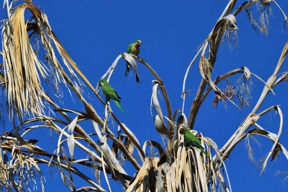 A Villasimius la spiaggia è allietata dai pappagallini