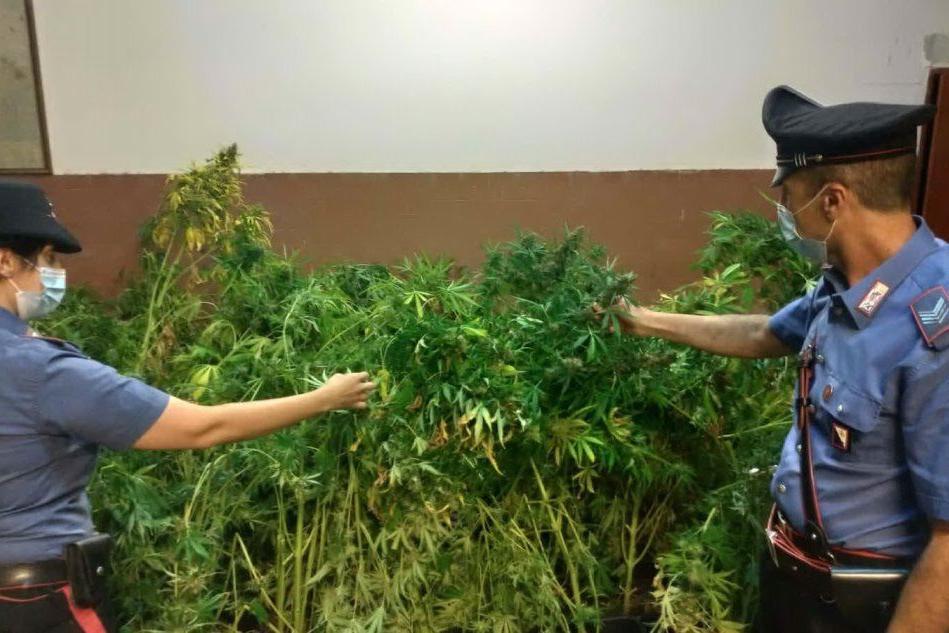 Cento piante di marijuana nella serra allestita in casa, due arresti a Monserrato