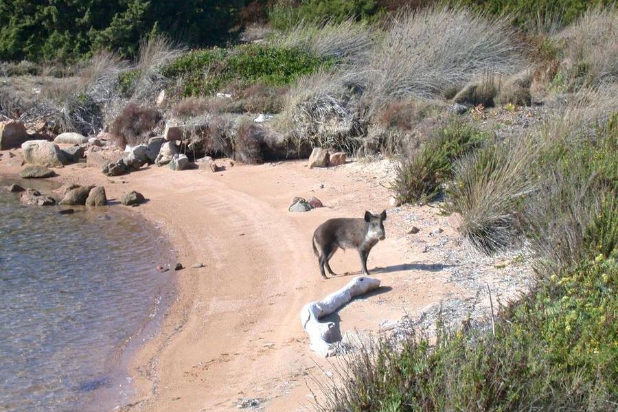 Parco nazionale di La Maddalena: al via il piano per l'eradicazione dell'ibrido di cinghiale