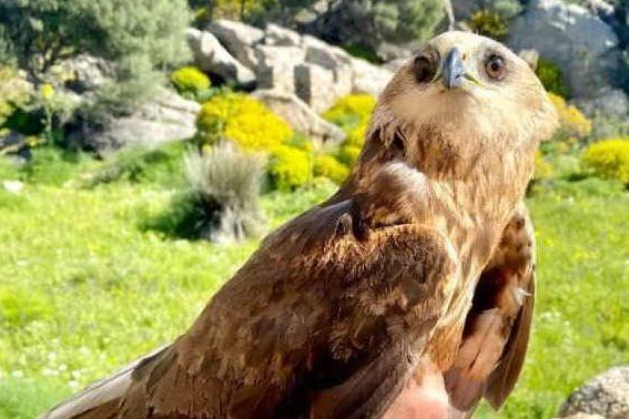 Falco di Palude osservato speciale: catturato all'Asinara dopo 25 anni di osservazioni