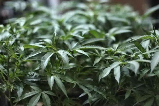 Coltivava piante di cannabis in giardino: giovane denunciato