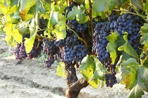 Il vitigno del Cannonau