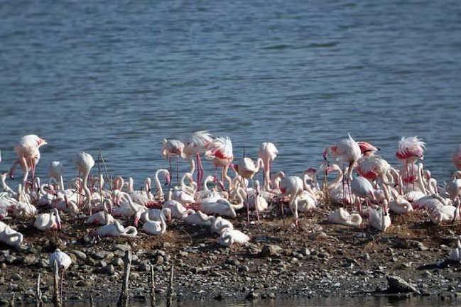 """Fenicotteri pronti a fare il nido: Molentargius diventa """"zona rosa"""""""