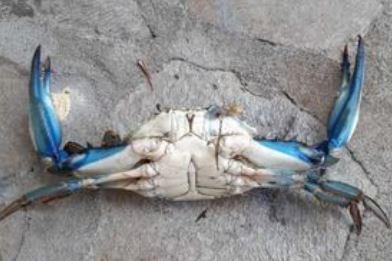 Pescato a San Giovanni, Posada, un granchio americano