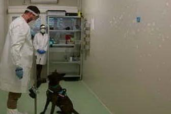 """Cani addestrati per fiutare il Covid: """"Più affidabili di un test rapido"""""""