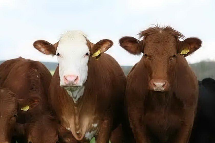 Cagliari e la nave carica di bovini, gli animali verranno abbattuti in Spagna