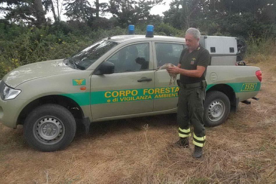 Cabras, fistione resta incastrato in una rete: lo salva la Forestale