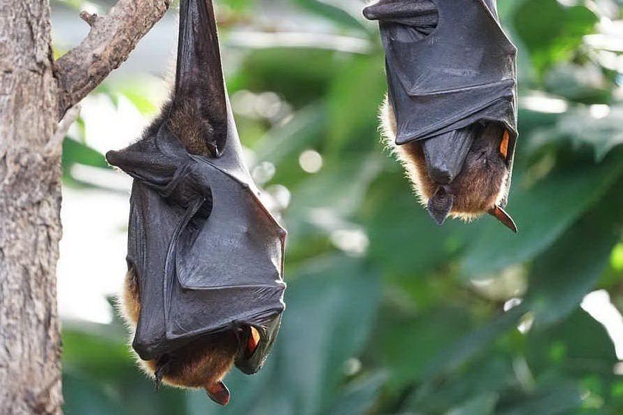"""Morso da un pipistrello, muore di rabbia: """"Caso rarissimo"""""""