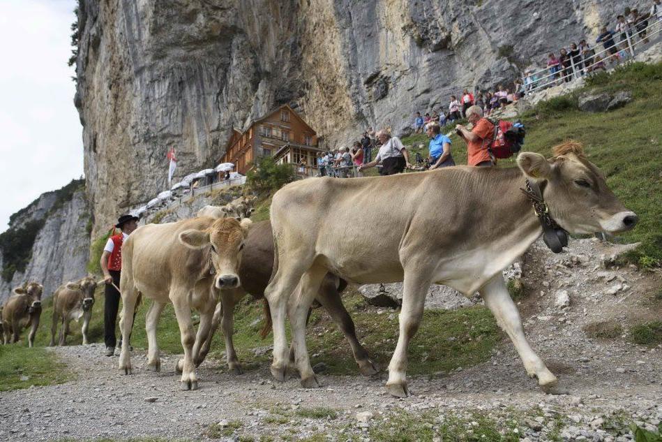 """Svizzera, al via l'""""Aescher"""": la discesa delle mucche"""