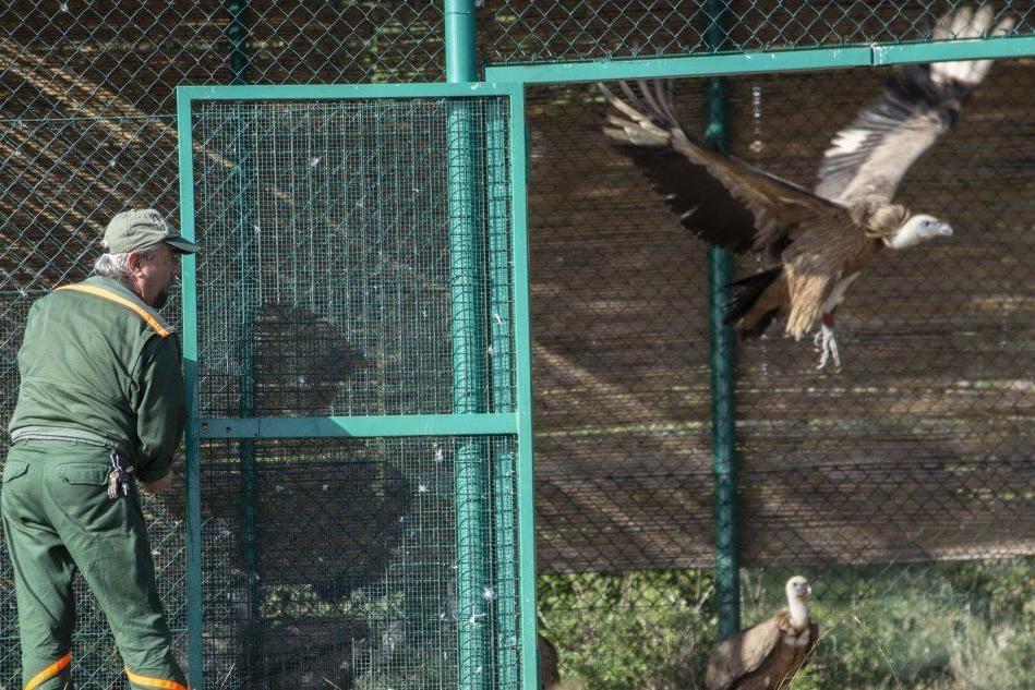 La liberazione dei grifoni (foto L'Unione Sarda - Fiori)
