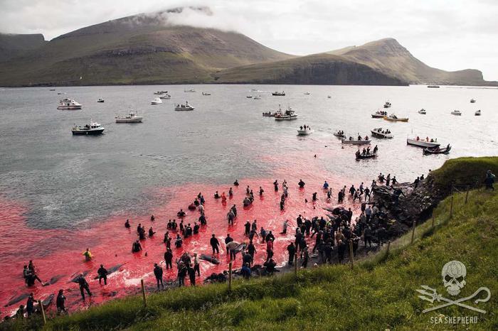 Mattanza di delfini alle isole Faroe: uccisi oltre 1.500, rabbia e indignazione