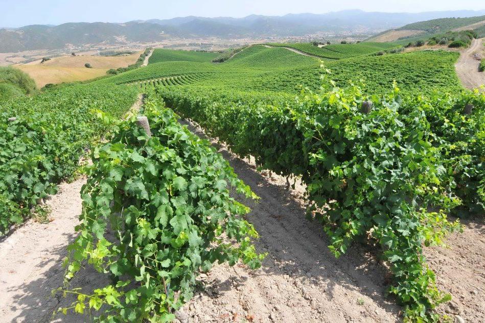 La vite millenaria di Urzulei e le vigne franche di piede