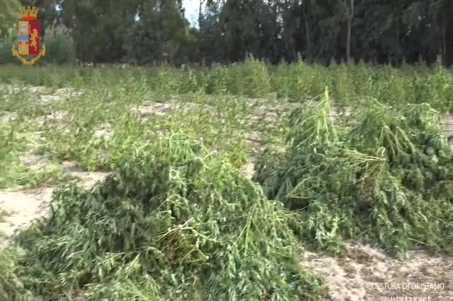 Maxi piantagione di marijuana nell'Oristanese: cinque persone in manette