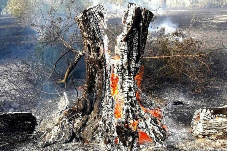 L'olivastro bruciato (foto inviata dal nostro lettore)