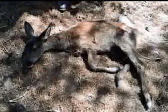 I ranger della Forestale di Iglesias salvano una piccola cerva ferita