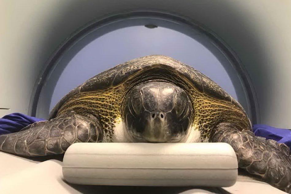 Arborea, rarissimo esemplare di tartaruga salvato dalle reti