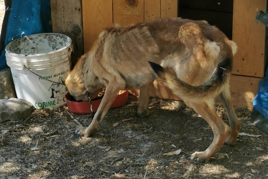 Lula, la cagnolina maltrattata a Mandas, ora cerca una nuova casa con i suoi cuccioli
