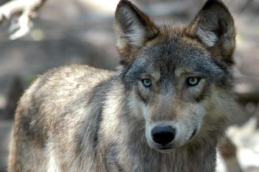Nei nostri boschi sono tornati i lupi