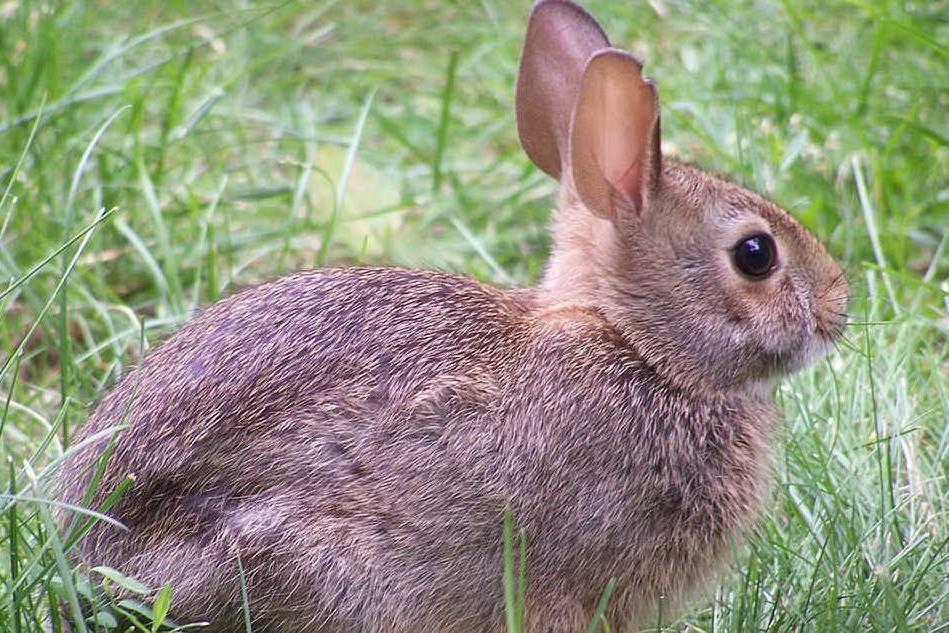 Un esemplare di coniglio selvatico (foto Wikipedia)