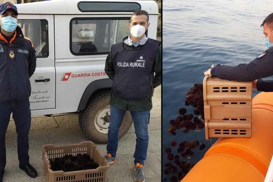 Prelievi illeciti di ricci di mare scoperti ad Alghero