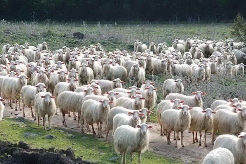 Un allevamento ovino (Archivio L'Unione Sarda)