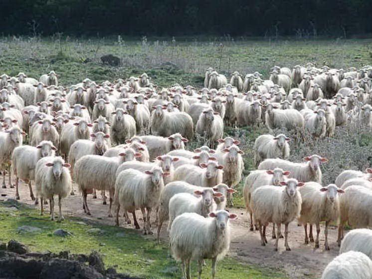"""Coldiretti: """"Nell'Isola due milioni e mezzo di pecore da salvare"""""""