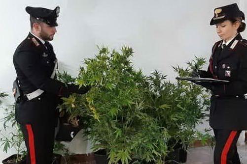 Serra con piante di marijuana in casa a La Maddalena