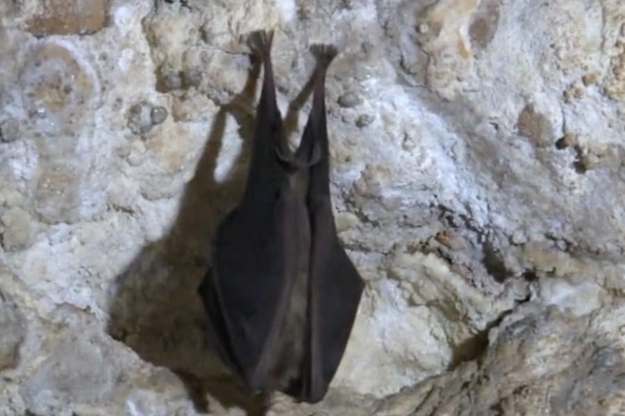 Un pipistrello in grotta (foto Fiori)
