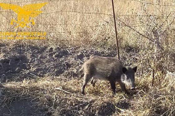 Siamanna, i forestali salvano un cinghiale dalla trappola sistemata dai bracconieri