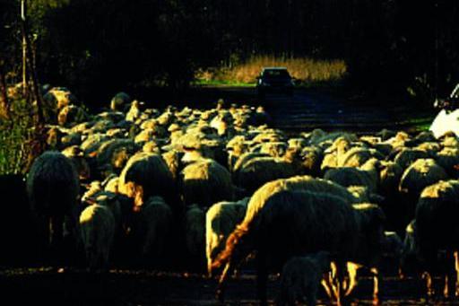 Sorpresa:il servo pastore esiste ancora