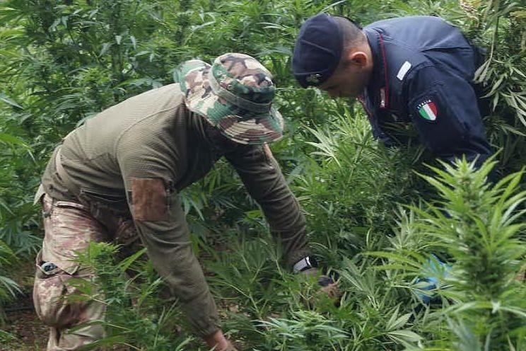 Macomer, una piantagione di cannabis da un milione di euro: un arresto