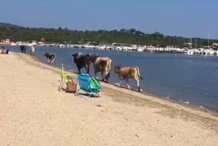 Le mucche (L'Unione Sarda)