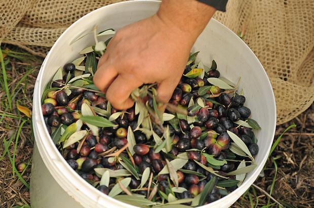 """Maltempo, l'allarme: """"Nel sud Italia a rischio la raccolta delle olive"""""""