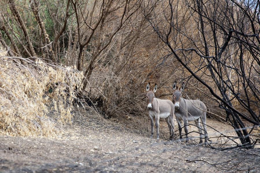 Due asini nei campi distrutti dai roghi (foto N. P.)
