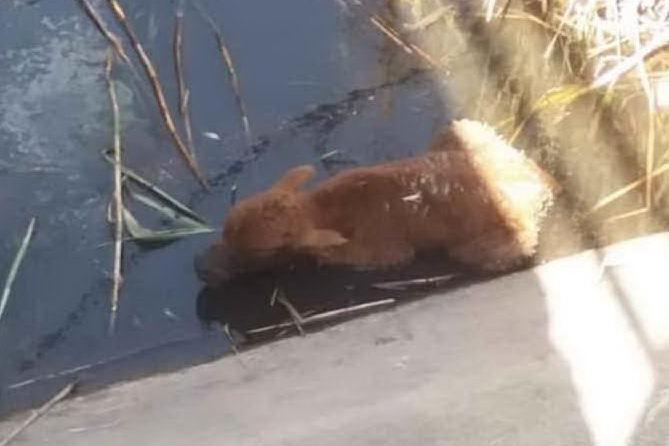 Villasor, i barracelli salvano un vitellino caduto in un canale