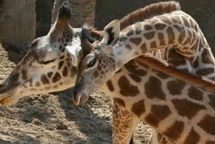 È morta April, la giraffa star del web: soffriva di artrite, è stata soppressa