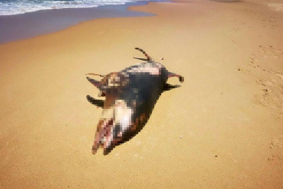 """Trovato un delfino morto a Scivu: """"Finito sotto l'elica di qualche imbarcazione"""""""