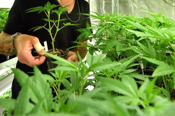Cannabis, al via la raccolta firme per il referendum sulla depenalizzazione