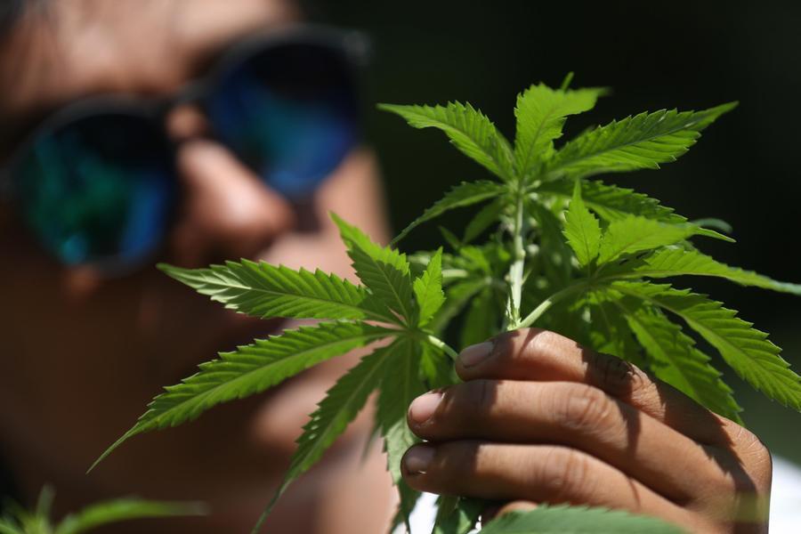 Coltivava 400 piante di cannabis, denunciato a San Gavino Monreale