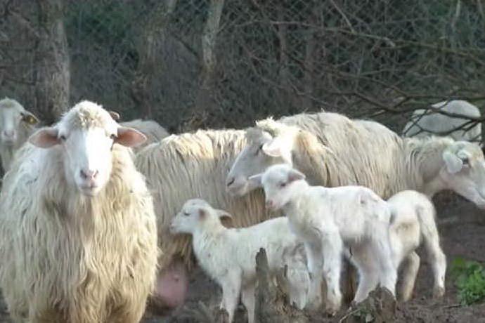 """Crisi e Covid tagliano il prezzo degli agnelli, i pastori: """"Troppo basso"""""""