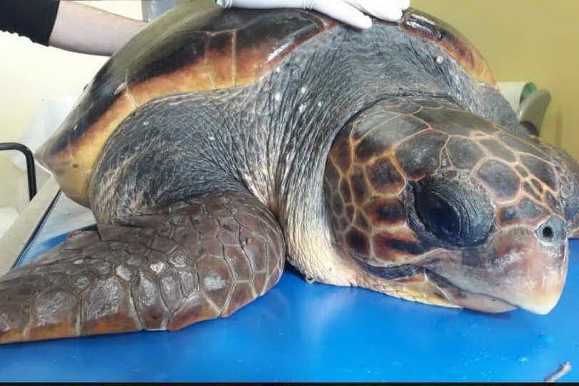Asinara, la tartaruga Eva ritornerà a nuotare libera