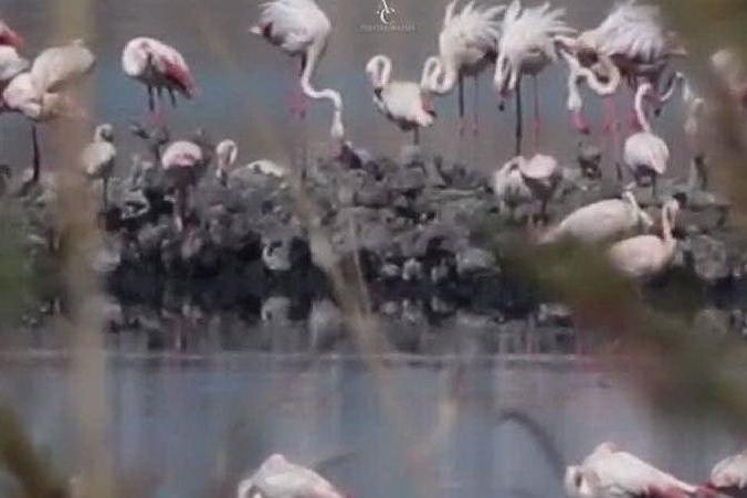 È tempo di nidificare: le splendide immagini dal Molentargius
