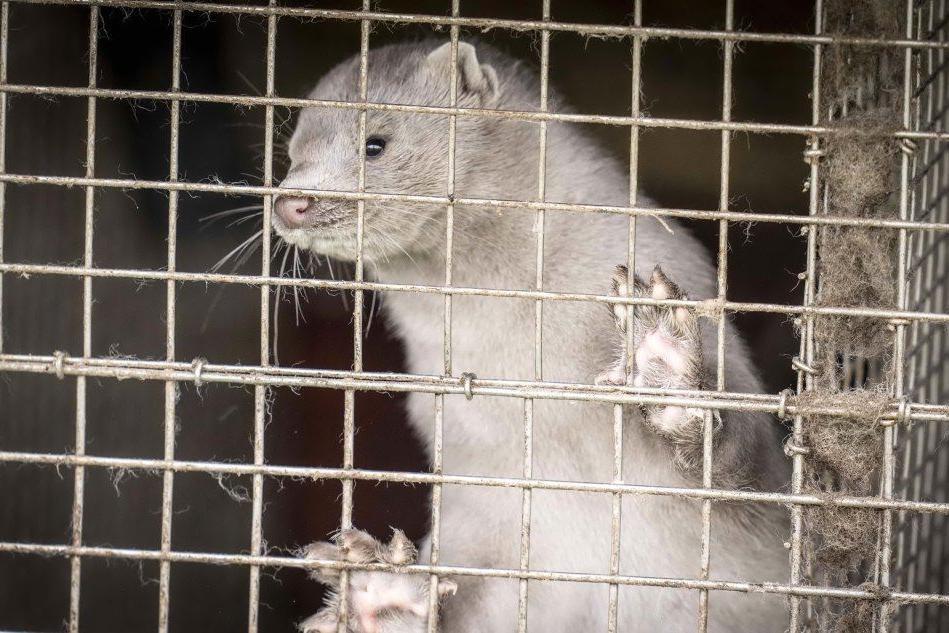 Covid, nei visoni la mutazione che fa paura: più di 100mila esemplari già abbattuti