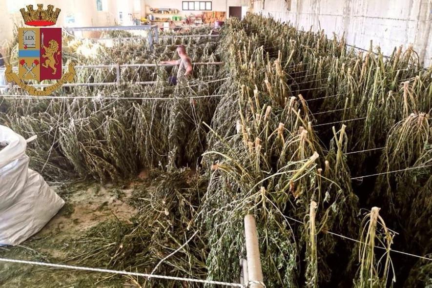 Una tonnellata di marijuana nelle campagne di Orosei:tre allevatori in manette