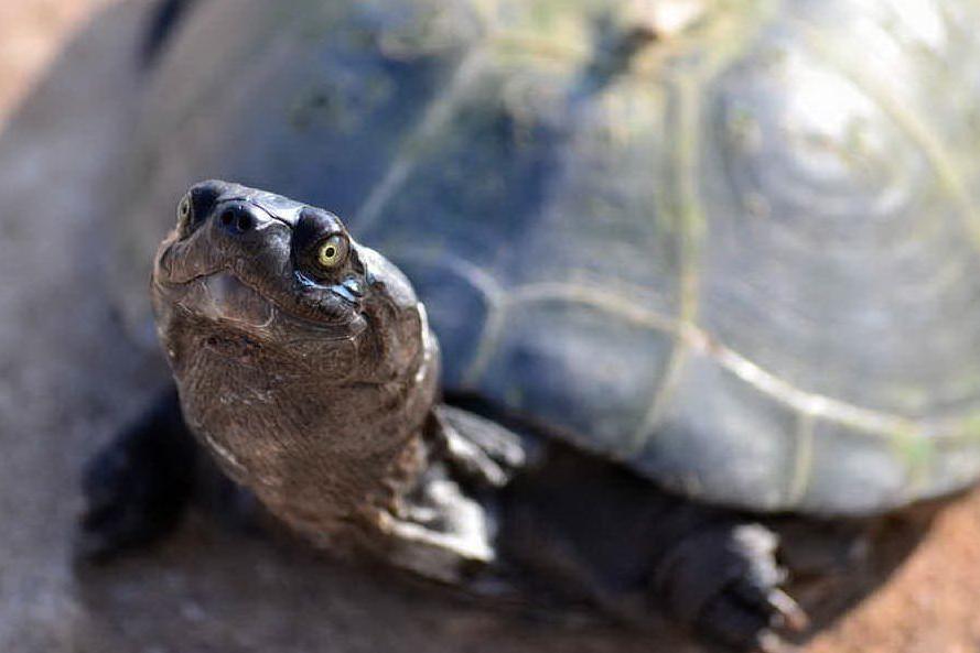 """Porta a spasso la tartaruga: """"E' il mio animale da compagnia"""". Sanzionata"""