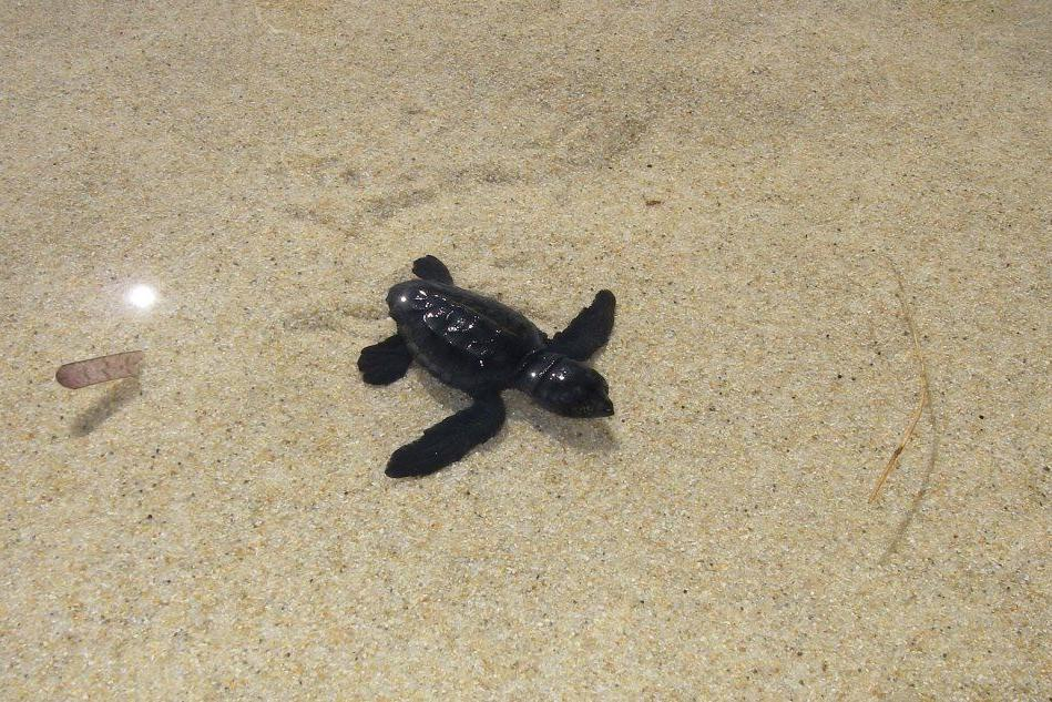 Una tartarugha nella spiaggia di Cala Sinzias