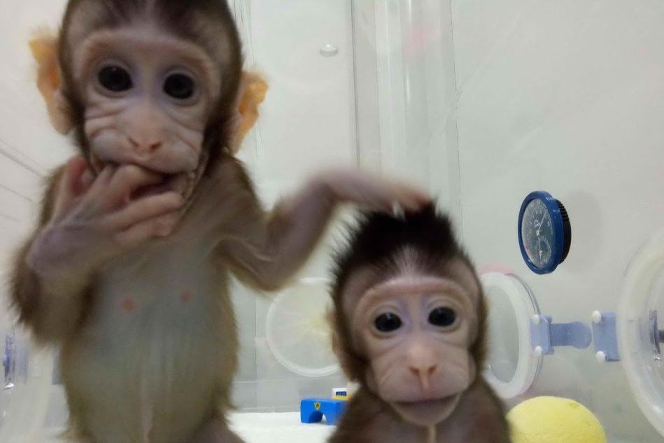 Scimmie geneticamente modificate e clonate, lo studio a Shanghai