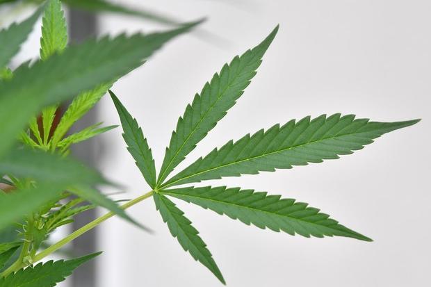 Piantagione di marijuana a Sinnai: due persone in manette