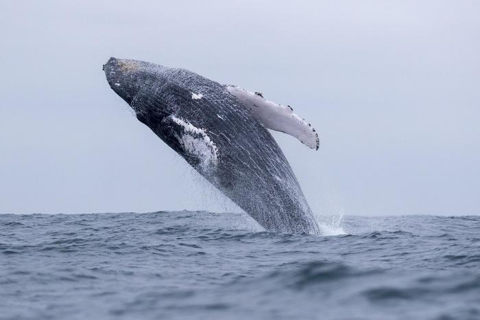 Una balena (foto Ansa/Epa)